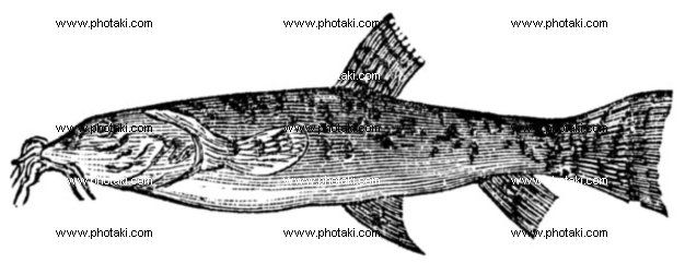 http://www.photaki.com/picture-stone-loach-or-barbatula-barbatula-vintage-engraving_1330126.htm