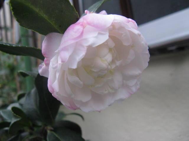 11月6日の誕生日の木は童謡にも登場する「サザンカ(山茶花)」です。 ツバキ科ツバキ属の常緑小高木。日本、中国、台湾、インドネシアなどに分布し、日本では四国西南部、九州、沖縄など、比較的温暖な地域に自生します。「サザンカ」の名前の由来は、山茶花の読み「さんさか」が転訛したものといわれています。 樹高は2m~5m。枝先や葉の脇に花径5cm~7cmの5弁花をつけます。葉は楕円形で、互い違いに生え、葉の先は尖り、縁にはぎざぎざ(鋸歯)があります。 江戸時代から庭木として愛され、日本人には馴染み深い花木のひとつです。昔からたくさんの園芸品種がありその数は300にものぼります。