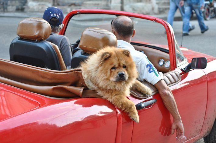 """You're so fluffy!!"" Cuban dog riding a convertible... in style!!    #cuba  #dog  #convertible"