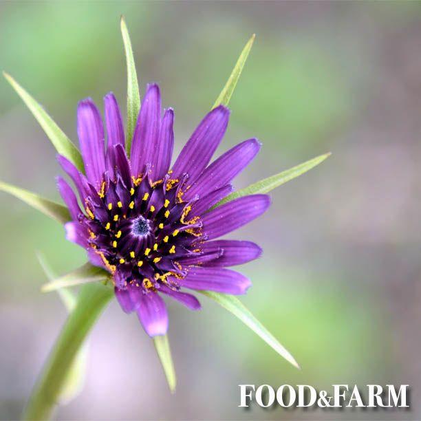 Kennt Ihr Haferwurz Schwarzwurzel Pflanzen Saatgut