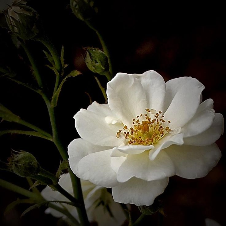 "The Reverend Joseph Pemberton of England bred ""Moonlight"" in 1913. It is a creamy to ivory white cluster blooming ""Hybrid Musk"" with long golden stamens. The parentage of ""Moonlight"" is William Paul's 1900 yellow ""Tea"" rose ""Sulphurea"" and Peter Lambert's 1904 ""Hybrid Multiflora"" ""Trier""."