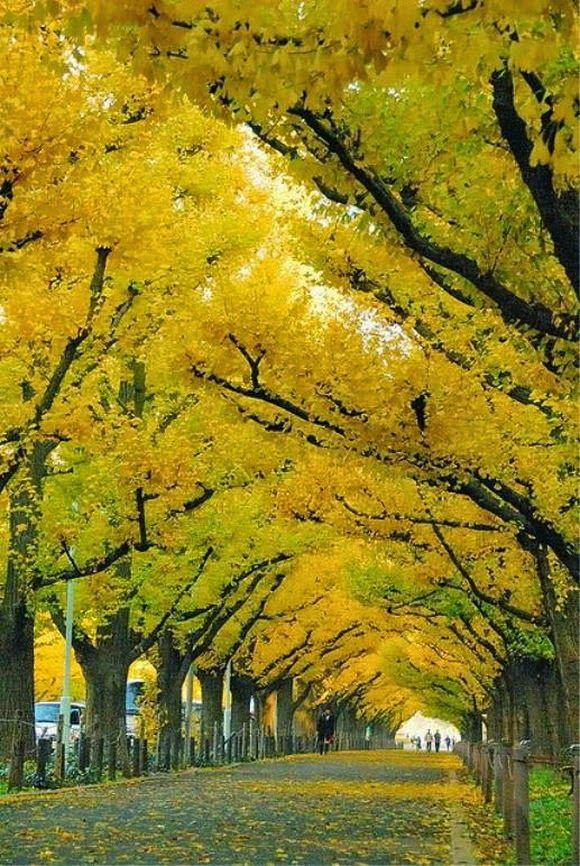 """Famosos túneis de árvores Túnel árvore ginkgo, Japão - Gingko biloba é uma árvore de altamente venerada na cultura japonesa. Seis árvores ginkgo sobreviveu ao bombardeio de Hiroshima, continuando a crescer apesar de enfrentar tantos desafios, e ainda estão vivos hoje. Portanto, os japoneses consideram o gingko como """"o portador de esperança"""". É também conhecido como """"sobrevivente a"""" ou """"o fóssil vivo""""."""