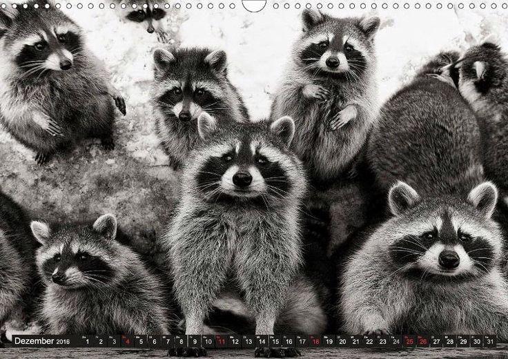 Waschbären - Maskierte Gauner - CALVENDO Kalender von Klaus-Peter Selzer - #kalender #waschbaer #calendar #schwarzweiss #blackandwhite