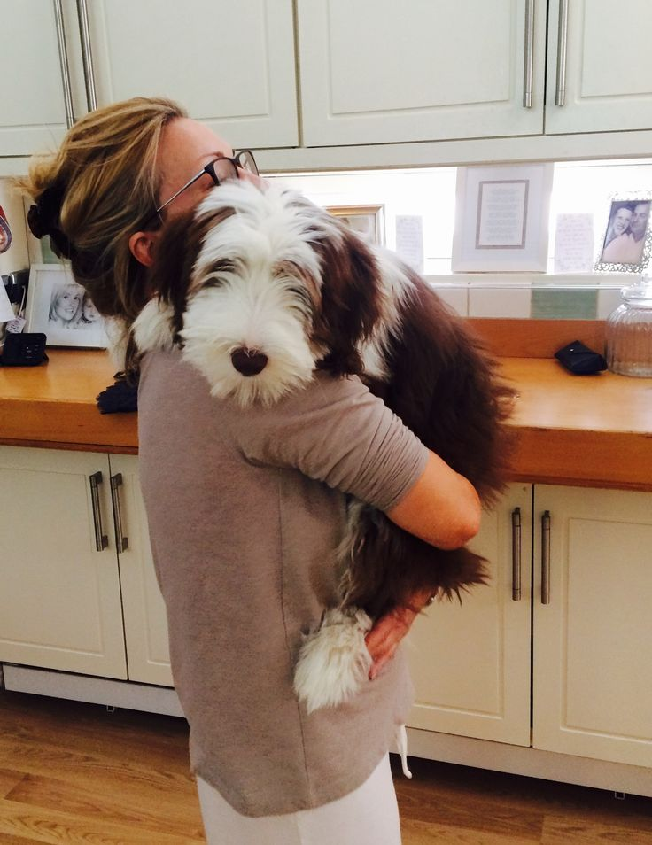 My Bearded Collie puppy , Poppy loves a cuddle !!