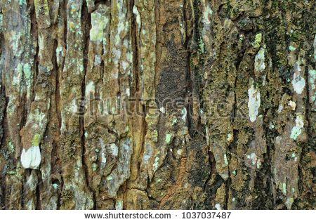 texture swietenia macrophylla tree