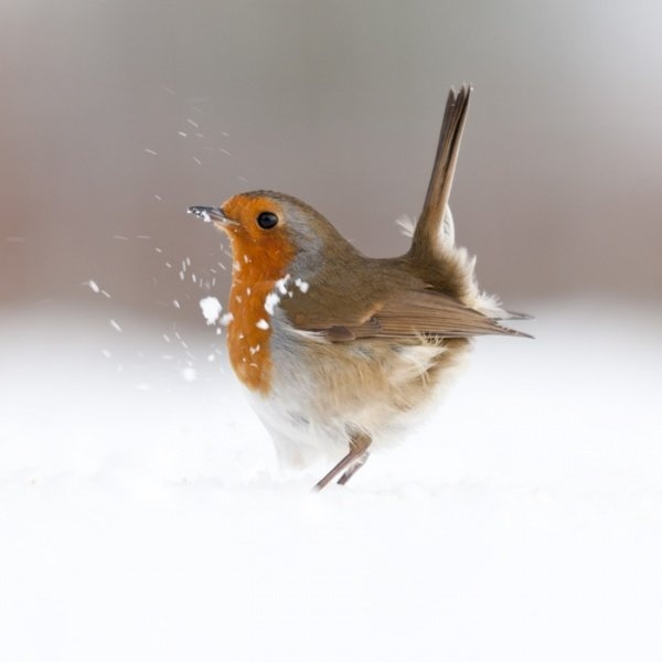 Robin {Erithacus Rubecula} photograph by Ross Hoddinott