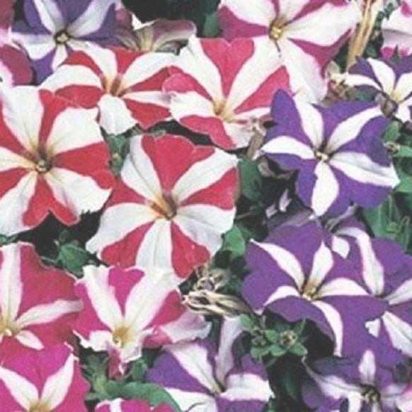 Petunia Multiflora Star Mix Flower Seeds Annual 50 By Youmakemesmileseeds On Etsy