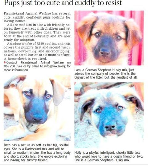 Thank you, Tygerburger for featuring our pups in today's newspaper!  Please note: Lara has since been adopted but her siblings, Katy, Freddy, Ellie and Holly) and cousins (Beth and Jack) are very much available!