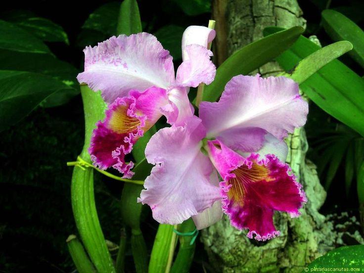 Venezuela:  easter orchid / orquídea de pascua, flor de mayo (Cattleya mossiae)  http://en.wikipedia.org/wiki/Cattleya_mossiae  http://es.wikipedia.org/wiki/Cattleya_mossiae: Jardine, Planta Con, Orchid, Search, Set Flora, Colombia, Con Google, Dance, Orquidea