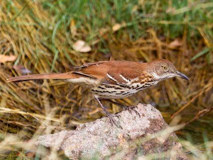 Brown Thrasher © Keith Alderman, Briggsdale, Colorado, October 2010, http://www.flickr.com/photos/25877070@N02/5045715746/