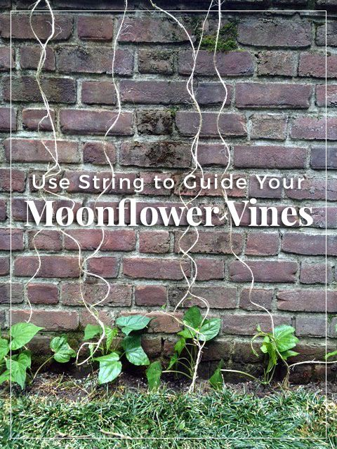 Guide your moonflower vines with string. http://www.thegrowers-exchange.com/