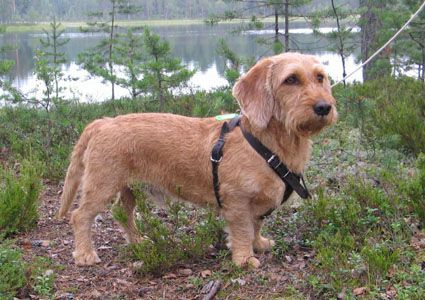 Good introduction of breed (only Finnish)