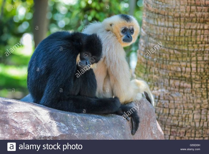 Download this stock image: Family Gibbons mate - G55D0H from Alamy's library of millions of high resolution stock photos, illustrations and vectors.