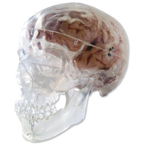 Transparent Classic Human Skull Model 3 Part