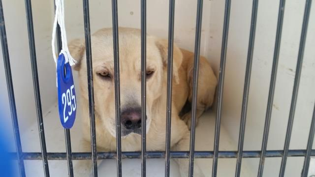 12/29/16 - HOUSTON HIGH KILL FACILITY IS OVER CAPACITY!! SPARKS - ID#A474054 I have a rescue group interested in me. My name is SPARKS I am a male, yellow Labrador Retriever. The shelter staff think I am about 2 years old. I have been at the shelter since Dec 15, 2016. This information was refreshed 56 minutes ago and may not represent all of the animals at the Harris County Public Health and Environmental Services.
