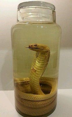 Albino King Cobra Wet Specimen - Freak Sideshow Cryptozoology Taxidermy Not Gaff