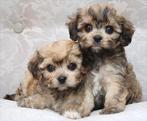 Sspca Dogs For Sale