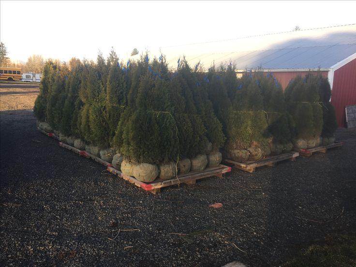 #Emerald Green Arborvitae For Sale in Oregon
