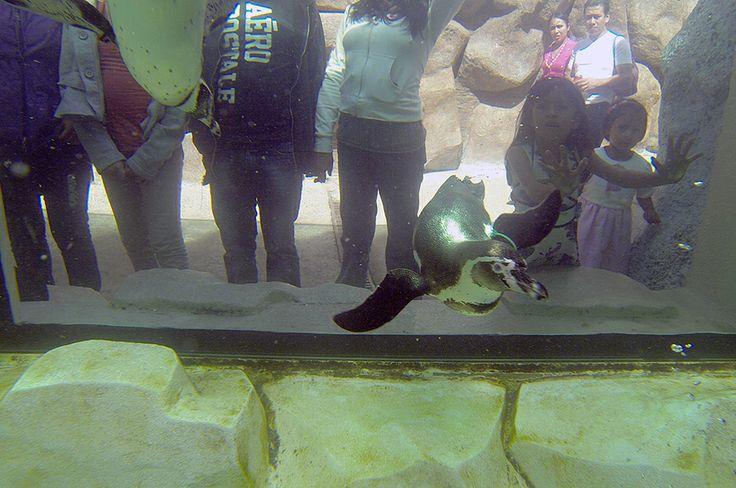 """Proyecto """"La Aurora""""  La idea surge por la necesidad de implementar colonias de Pingüinos de Humboldt en zoológicos de Latinoamérica con el propósito de apoyar al conocimiento y la conservación de la especie."""