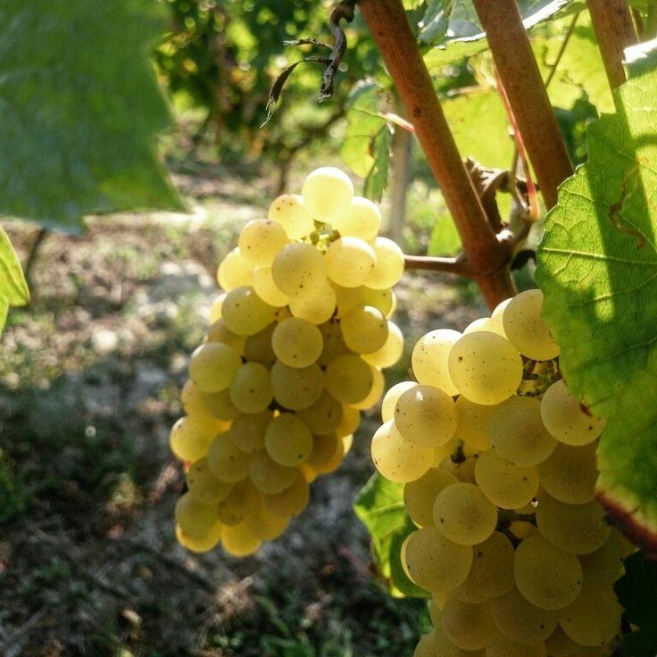 #vendemmia #vendemmia2015 #grapes
