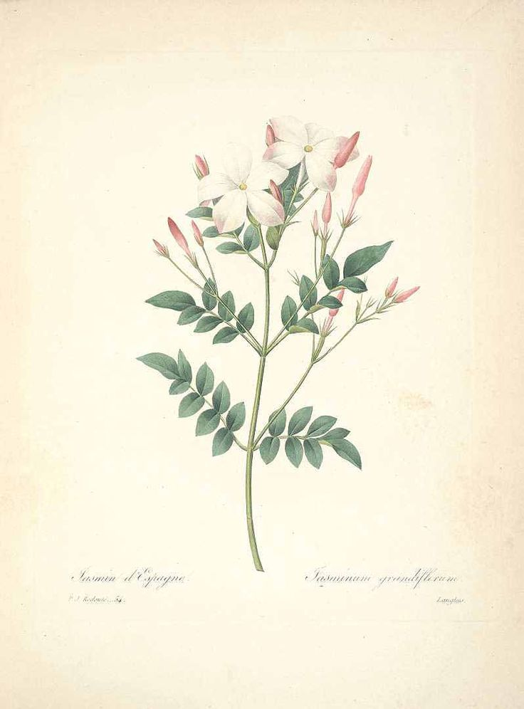 46847 Jasminum grandiflorum L. / Redouté, P.J., Choix des plus belles fleurs et des plus beaux fruits, t. 54 (1833) [P.J. Redoute]