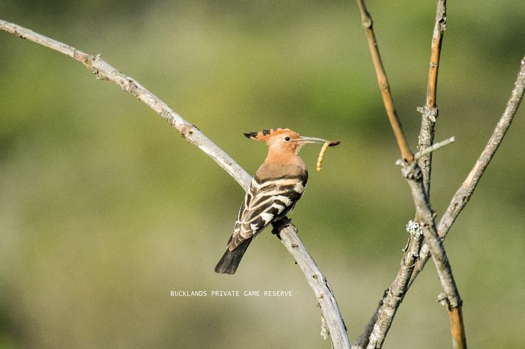 This early bird was up this morning  #hoopoe #bucklandsprivategamereserve #birding #earlybird #twitching #photography