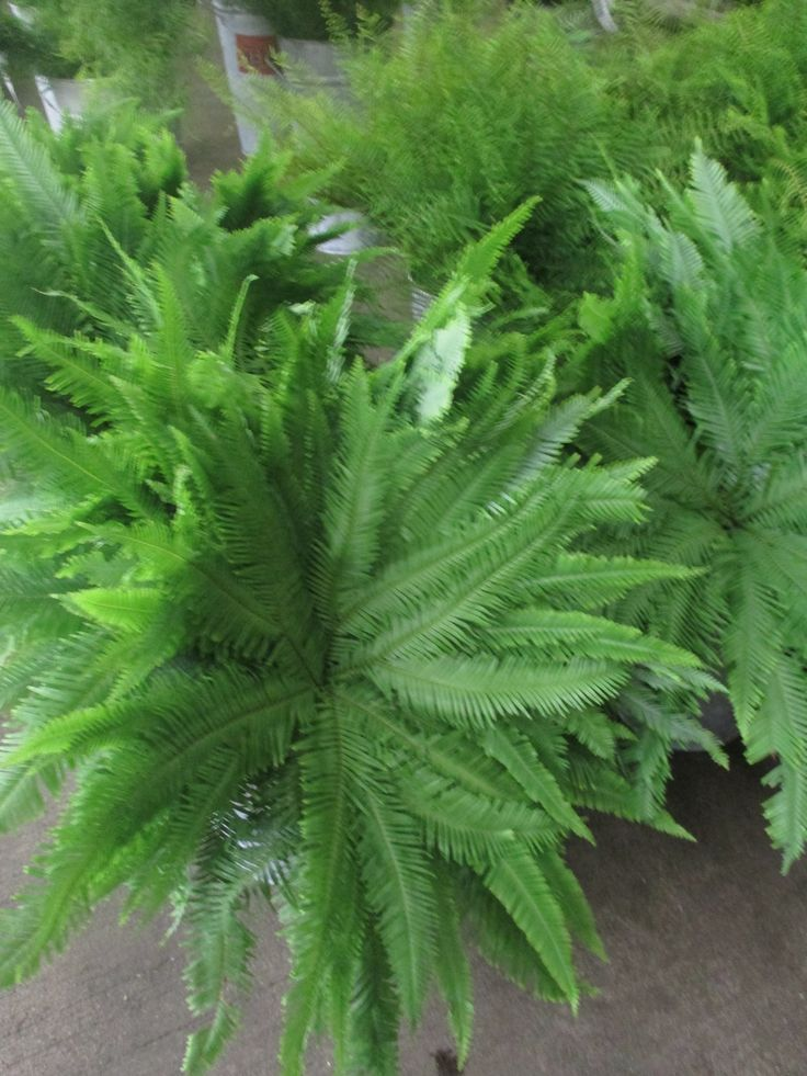 Australian umbrella ferns greens fillers for bouquets