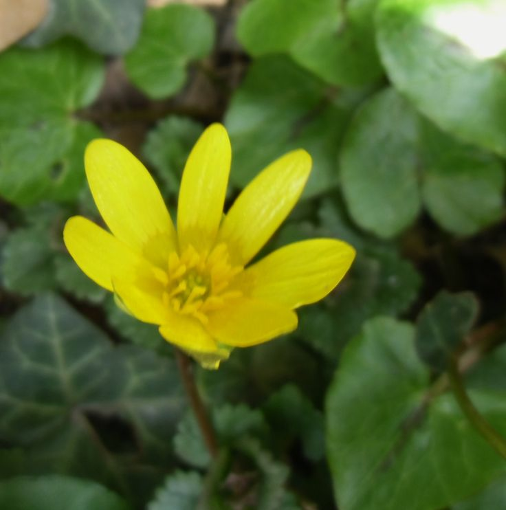 Virágzik a téltemető