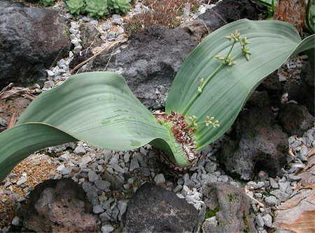 キソウテンガイ(ウェルウィッチア科) 奇想天外・ウェルウィッチア、学名:Welwitschia mirabilis  南西アフリカのナミブ砂漠の限られた地域にのみ生育する裸子植物。一生に2枚の葉しかださないという、まさに奇想天外な植物。 寿命も大変長く、一番長生きしているものはなんと2000年も生きているものがあるといわれている。  (注) 大阪の毎日テレビ「ちちんぷいぷい」という番組('05/1/31放送)の中で、面白い名前の植物として「アアソウカイ」 「ヘクソカズラ」とともに「キソウテンガイ」のこの写真が紹介されました。  撮影地:大阪花博記念公園・咲くやこの花館 年月日:'03/ 7/24