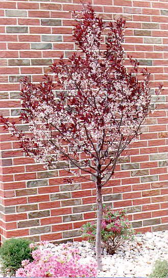 purple leaf sand cherry - maybe one of these this year...hmm