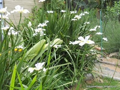 findingprettyagain.blogspot.com dietes grandiflora(wild iris) a very giving and waterwise plant in South Africa