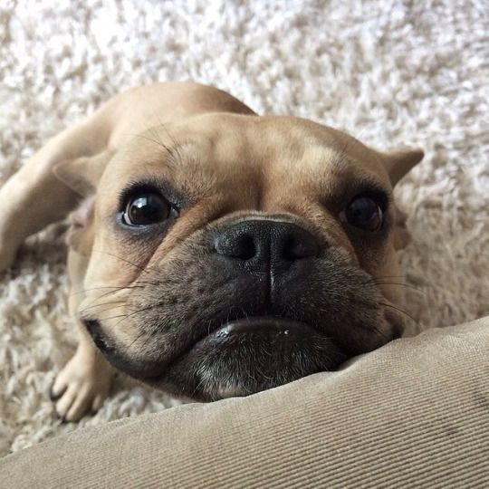 """""""Oh hey, I has dis Face, so gimme some treats, k?"""", classic French Bulldog begging tricks ❤️"""