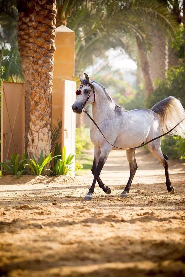#arabian #Installation #Pferd #Pferd #Pferd #arabia