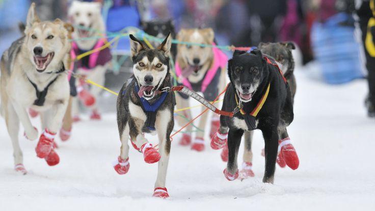 Alaska husky i Finnmarksløpet 2011 - Over 1000 alaska husky skal tilbakelegge enten 500 eller 1000 km gjennom Finnmark de neste dagene. - Fo...