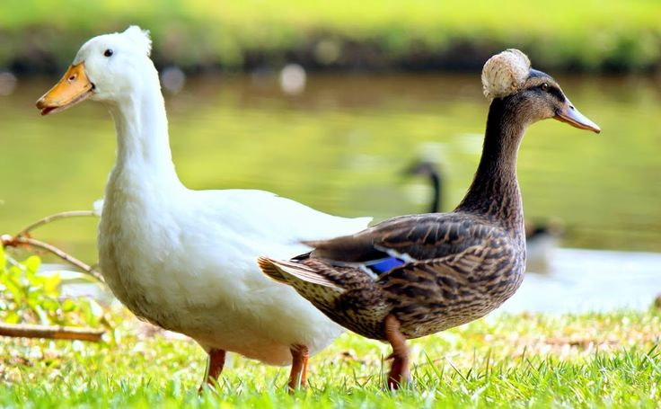 Crested Male Pekin with Crested Female Mallard © Copyright 2013, Christine Regusa, HellCat Photography, All Rights Reserved