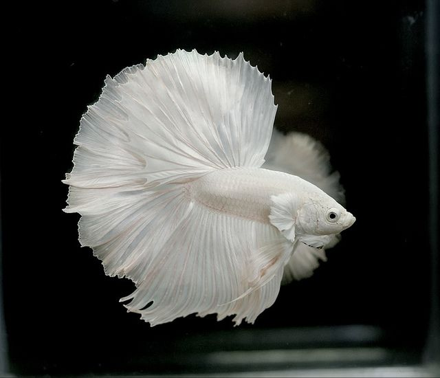 1000 images about betta on pinterest for Albino betta fish