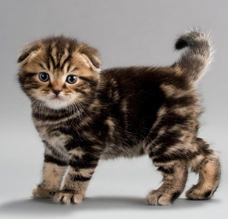 Scottish Fold Kittens for Sale | Kitty Breeds: Scottish Fold Kittens