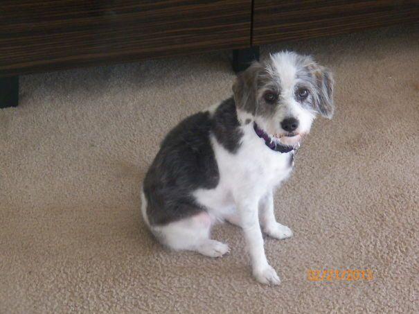 My Lily Bug. Beagle + Poodle Mix. (beoodle)