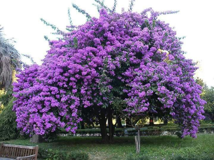 Huge Lilac Tree...imagine the fragrance! This would be live heaven for me!