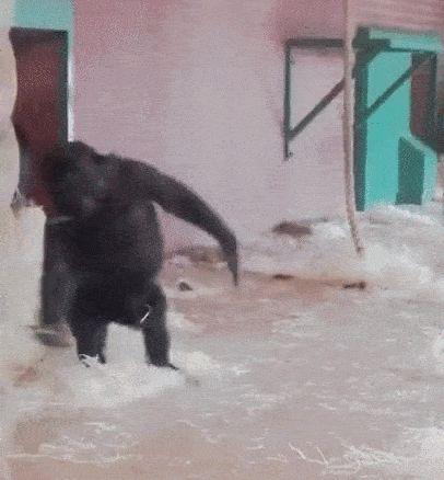 Dancing queen, young and sweet ♥️ cute, gorilla