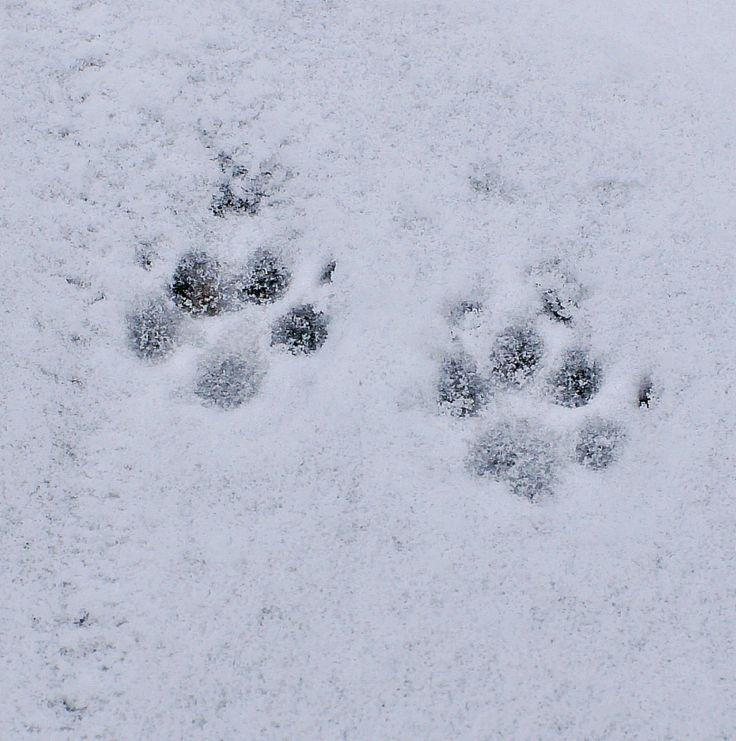 Paw and snow