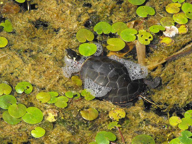 Turtle Parc-de-l'Ile-Bizard by pegase1972, via Flickr