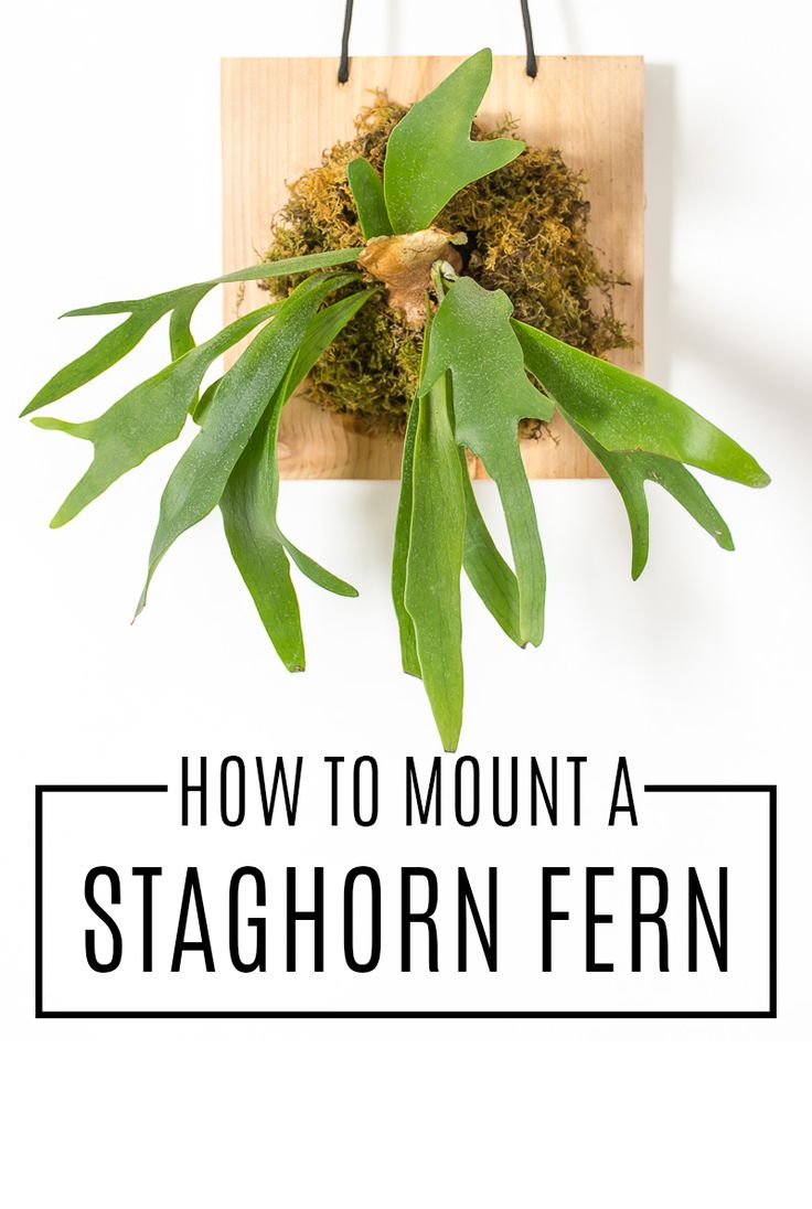Wall-mounted staghorn ferns are a beautiful way to add greenery to your walls, but they can be expensive. Learn how to mount a staghorn fern yourself.