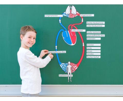 Blutkreislauf magnetisch-4Magnetischer Blutkreislauf #Sachkunde #Sachunterricht #Betzold