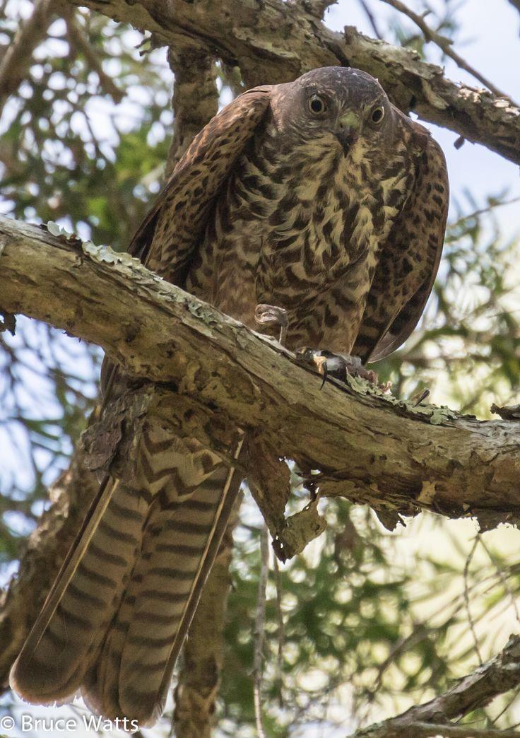 Collared Sparrowhawk - Eskdale Swamp