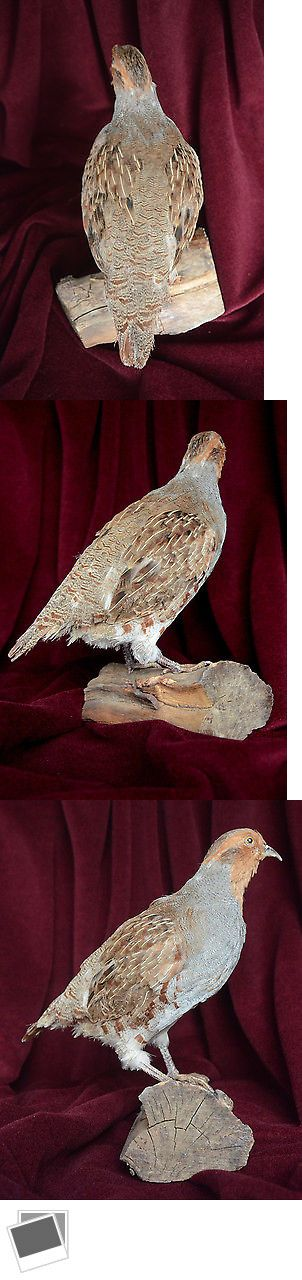 Birds 71123: Hungarian Grey Partridge Stuffed Bird Taxidermy Mount + Free Shipping BUY IT NOW ONLY: $100.0