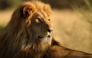 Preview wallpaper lion, mane, big cat, look, king of beasts, predator