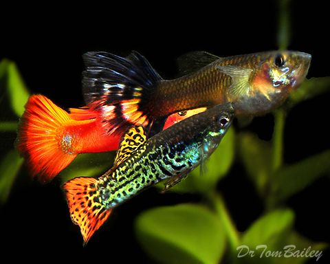 Guppies fancy guppies both male and female guppies at for Guppy fish care