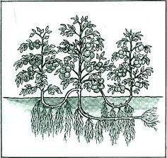 Выращивание помидор по Маслову. Увеличение урожая в 8 раз!  Наблюдая в течение многих лет за развитием томатных растений, я пришел к выводу, что для того, чтобы обеспечить налив большого количества плодов, нужна мощная корневая система.  Увеличить ее я пробов…