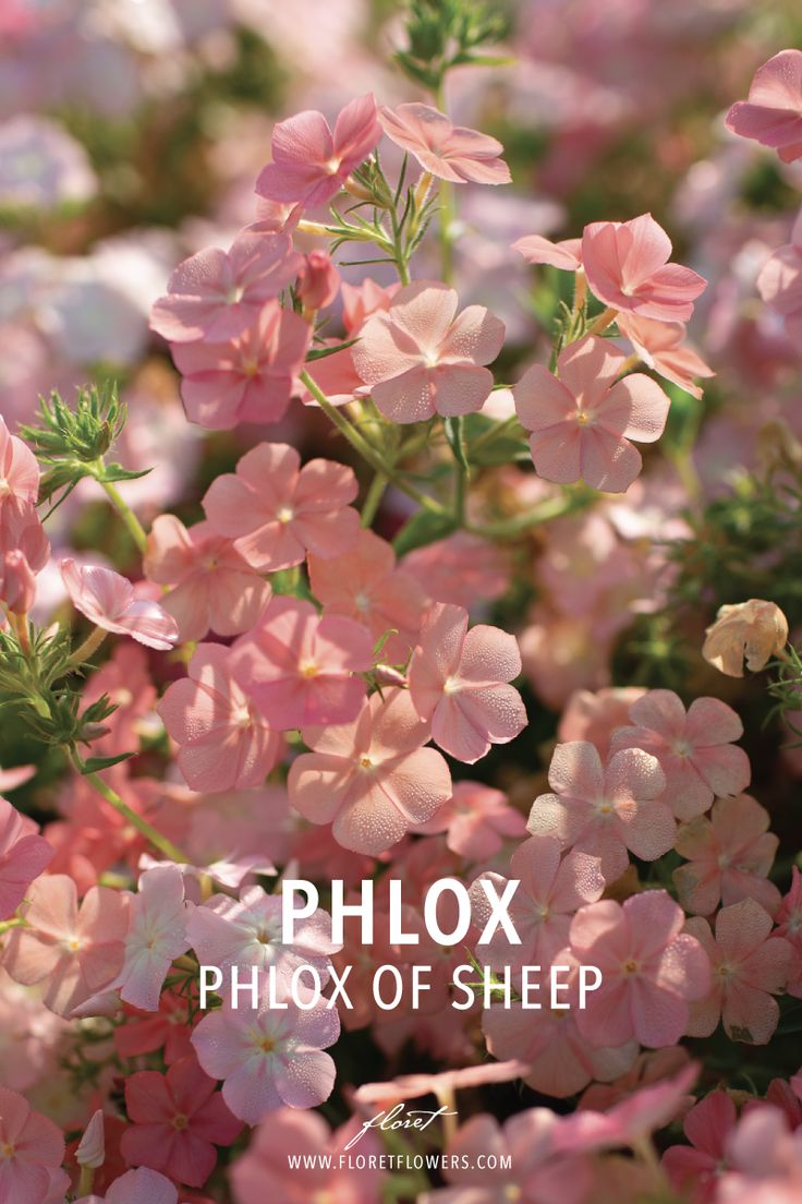 Pflege Phlox Browse Phlox Images And Ideas On Pinterest